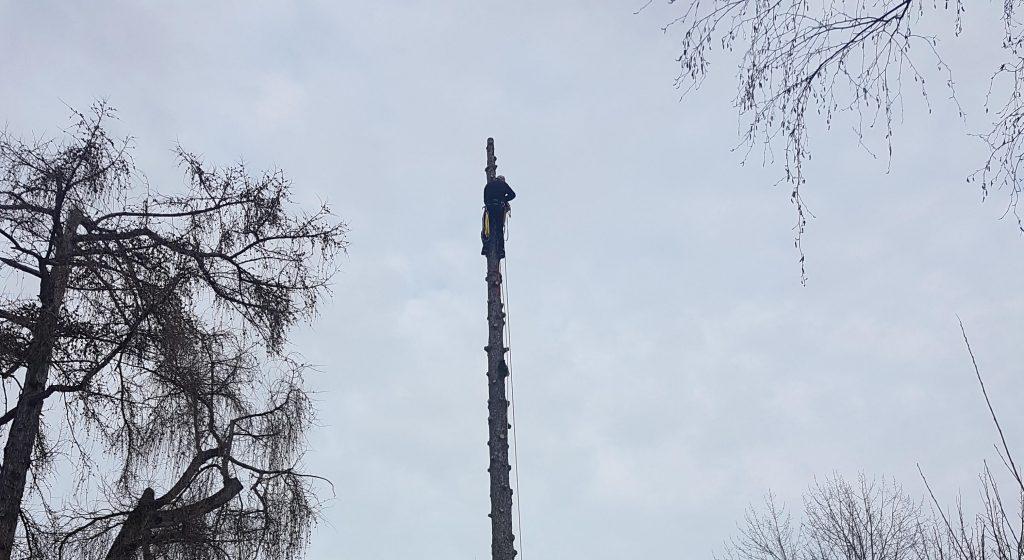 Baumstamm ohne Äste, welche per Seilklettertechnik bereits entfernt wurden.