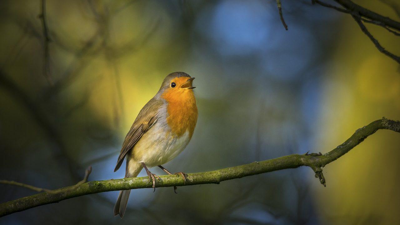 Symbolbild Kantate: Rotkehlchen singt auf einem Ast