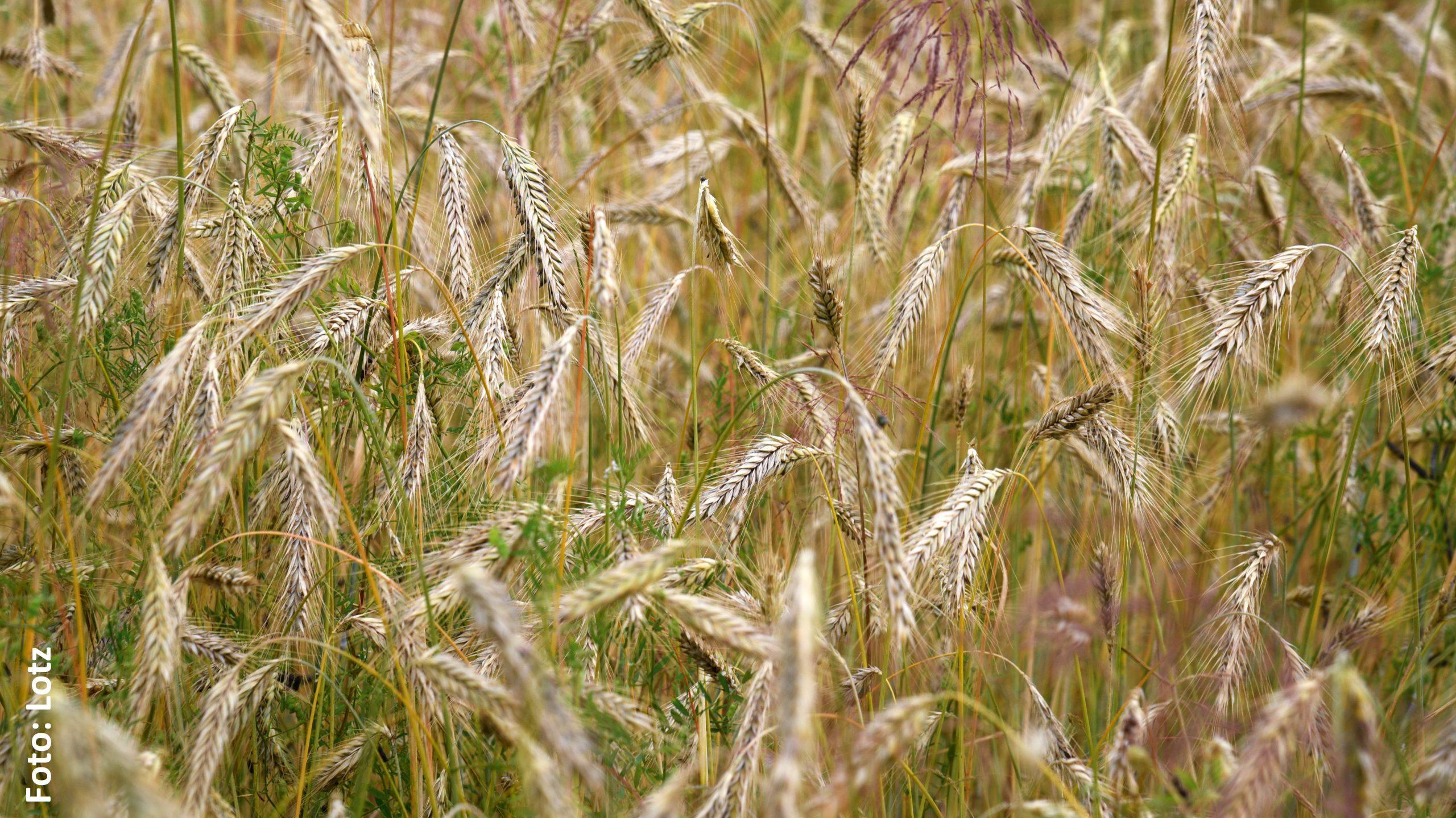 Symbol der Fruchtbarkeit und des Lebens: Das Getreide.